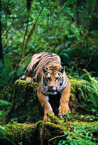 Tiger「Bengal Tiger in Forest」:スマホ壁紙(2)