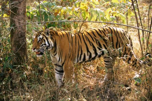 Tiger「Bengal tiger (Panthera tigris tigris) in forest」:スマホ壁紙(12)