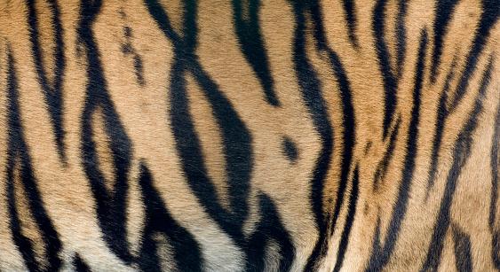 Animal Hair「Bengal Tiger fur close up」:スマホ壁紙(18)