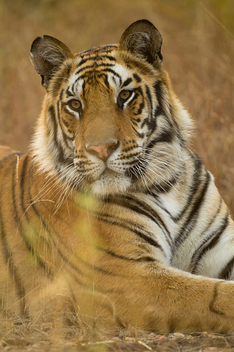 Tiger「Bengal Tiger Resting」:スマホ壁紙(5)