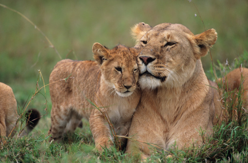 Baby animal「Lioness (Panthera leo) with cubs lying on grass, Kenya」:スマホ壁紙(7)