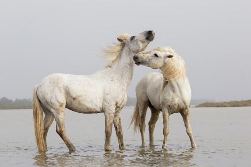 Stallion「Two Camargue stallions in water, Camargue, Saintes-Maries-de-la-Mer, France」:スマホ壁紙(1)