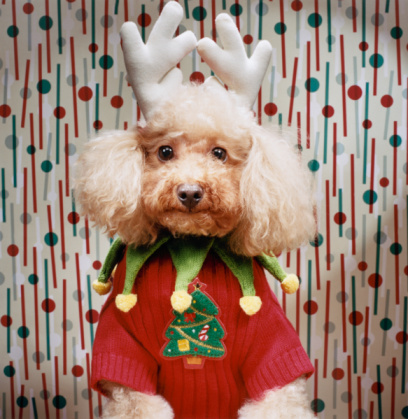 Pet Clothing「Poodle Wears Christmas Costume」:スマホ壁紙(11)