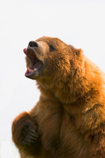Roaring「Bear with tongue out of mouth」:スマホ壁紙(12)