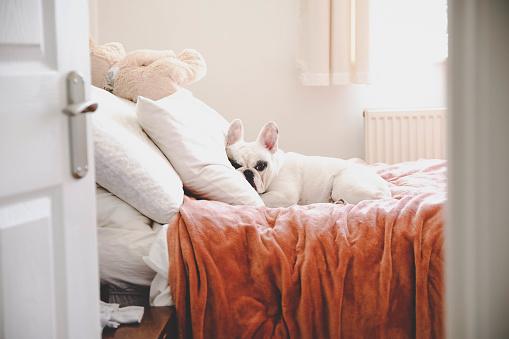 Puppy「Sleepy French Bulldog on a cozy bed in a bedroom, seeing through bedroom door」:スマホ壁紙(19)