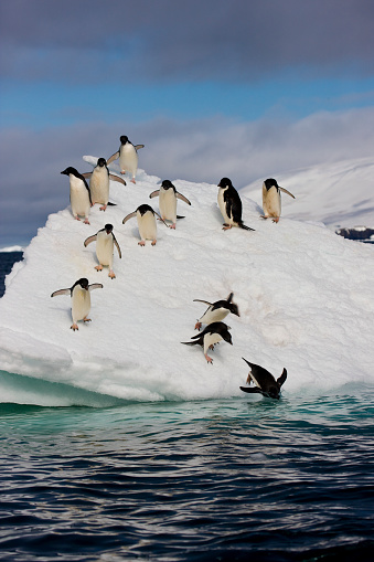Pack Ice「Adelie Penguins on ice pack just off of Paulet Island」:スマホ壁紙(4)