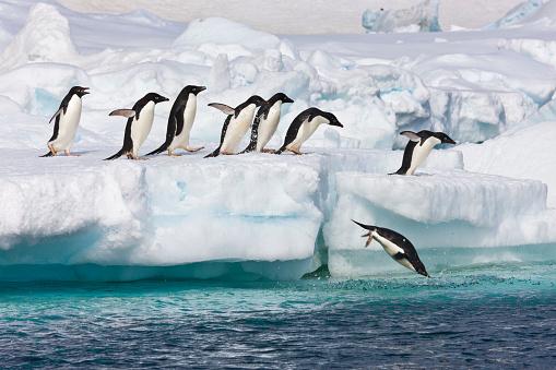 Antarctic Ocean「Adelie penguins」:スマホ壁紙(9)