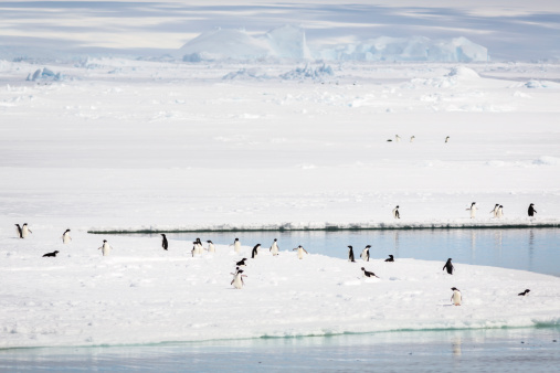 Pack Ice「Adelie Penguins at the ice edge, Commonwealth Bay」:スマホ壁紙(9)