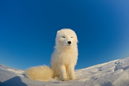 Snowdrift「Polar fox observes tundra.」:スマホ壁紙(19)