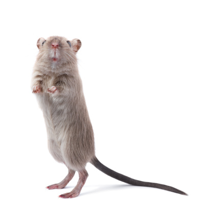 Animal Nose「Curious rodent」:スマホ壁紙(14)
