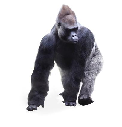 Approaching「Gorilla walking」:スマホ壁紙(7)