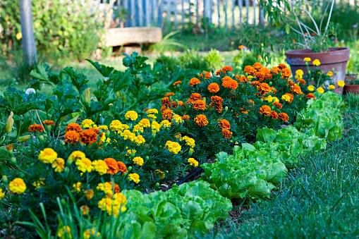 France「Salads and marigolds in a garden」:スマホ壁紙(19)