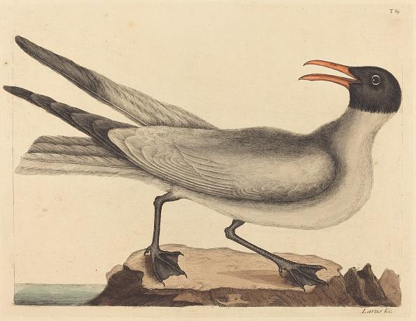 Animal Body Part「The Laughing Gull (Larus Articilla)」:写真・画像(6)[壁紙.com]