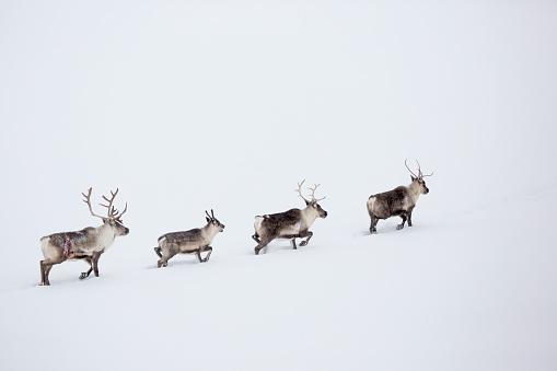 reindeer「Caribou in the snow」:スマホ壁紙(19)