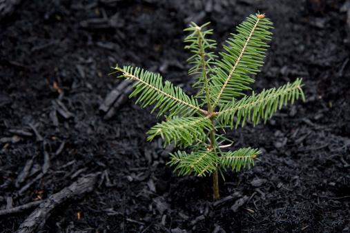 Burnt「Tree Grows After Forest Fire」:スマホ壁紙(10)