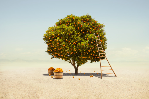 Citrus Fruit「Orange tree harvest in barren desert」:スマホ壁紙(1)