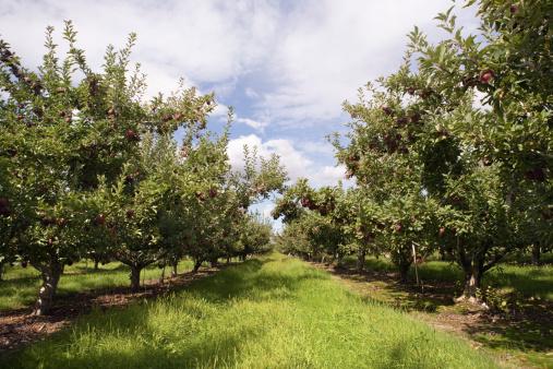 Alley「Apple orchard」:スマホ壁紙(9)