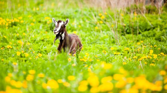 Goatee「Goat on the pasture」:スマホ壁紙(12)