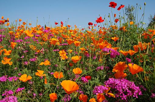 Wildflower「Meadow with blooming orange and purple  wildflowers」:スマホ壁紙(4)