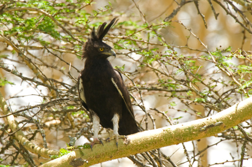 ケニア山「Long-Crested Eagle (Lophaetus Occipitalis) Mount Kenya, Africa」:スマホ壁紙(10)