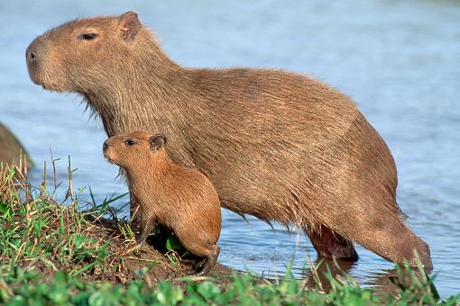 1980-1989「Capybaras With Baby」:スマホ壁紙(14)