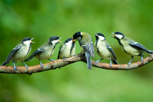 Flock Of Birds「Great Tit family being fed by mother」:スマホ壁紙(10)