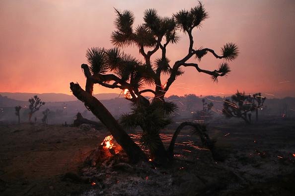 Tree「Bobcat Fire Jumps Highway And Spreads Into Juniper Hills Area」:写真・画像(6)[壁紙.com]