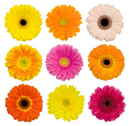 Single Flower「Selection of isolated Gerberas」:スマホ壁紙(11)