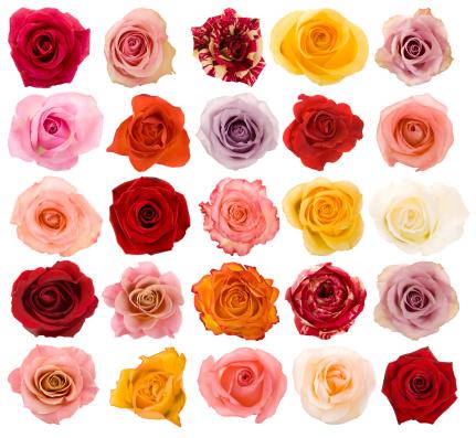 Single Flower「Selection of beautiful roses」:スマホ壁紙(5)