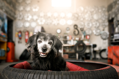 Mixed-Breed Dog「Dog in a bed made with tire」:スマホ壁紙(16)