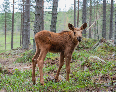 Baby animal「Sweden, Dalarna, juvenile elk in forest」:スマホ壁紙(6)