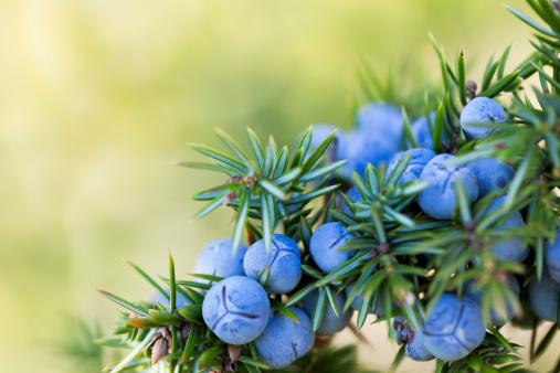 Uncultivated「Juniper berries」:スマホ壁紙(10)