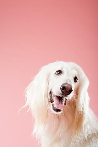Sticking Out Tongue「Afghan hound」:スマホ壁紙(17)
