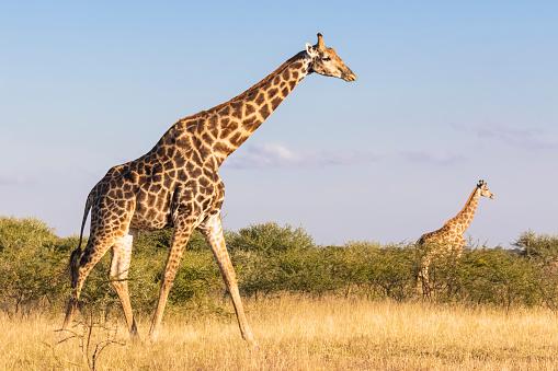 Walking「Botswana, Kalahari, Central Kalahari Game Reserve, Giraffes walking, Giraffa camelopardalis」:スマホ壁紙(9)