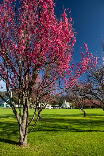 花見「Cherry trees in bloom with the churches of Church Row in the background, Cherry Blossom Festival」:スマホ壁紙(16)