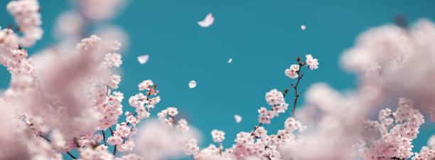 Cherry Tree In Spring:スマホ壁紙(壁紙.com)