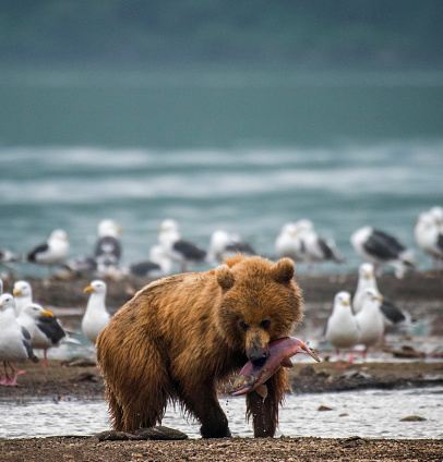 Kamchatka Brown Bear「Kamchatka brown bear (Ursus arctos beringianus) with salmon, Kuril Lake, Kamchatka Peninsula」:スマホ壁紙(7)