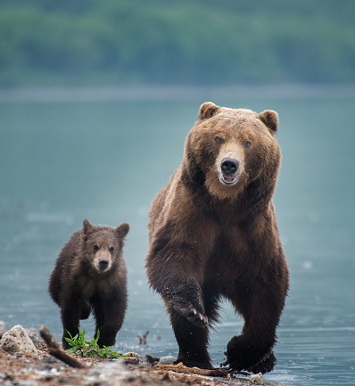 Kamchatka Brown Bear「Kamchatka brown bear (Ursus arctos beringianus) and cubs walkin on the shore of Kuril Lake, Kamchatka Peninsula」:スマホ壁紙(4)
