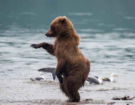 Kamchatka Brown Bear「Kamchatka brown bear (Ursus arctos beringianus) and cubs, Kuril Lake, Kamchatka Peninsula」:スマホ壁紙(3)