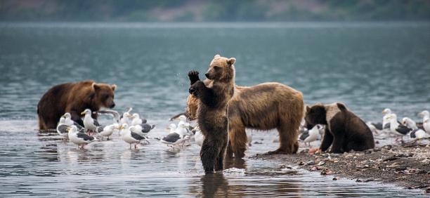 Kamchatka Brown Bear「Kamchatka brown bear (Ursus arctos beringianus) and cubs, Kuril Lake, Kamchatka Peninsula」:スマホ壁紙(11)