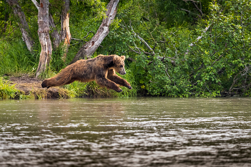 Kamchatka Brown Bear「Kamchatka brown bear (Ursus arctos beringianus) diving into Kuril Lake」:スマホ壁紙(5)