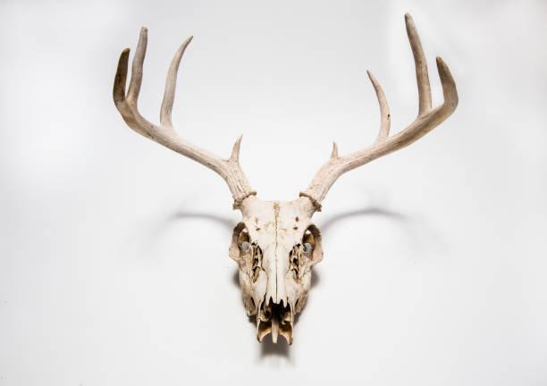 Deer skull hanging on white wall, Colorado, United States:スマホ壁紙(壁紙.com)