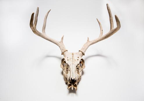 Horned「Deer skull hanging on white wall, Colorado, United States」:スマホ壁紙(11)