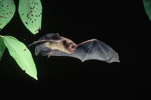1990-1999「Little Brown Bat in Flight」:スマホ壁紙(5)