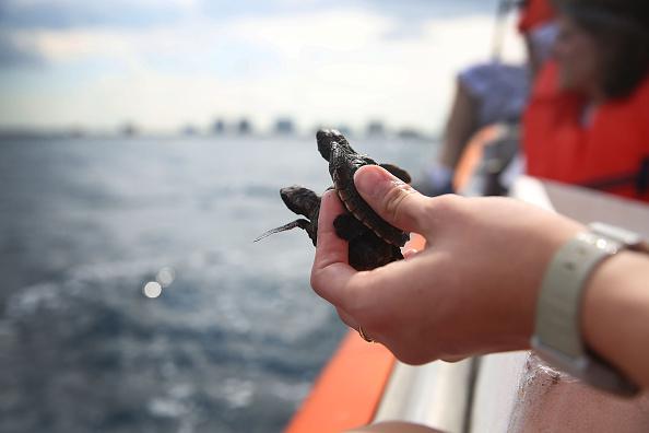 Effort「Hundreds Of Sea Turtles Hatchlings Are Released Into Atlantic Ocean」:写真・画像(12)[壁紙.com]
