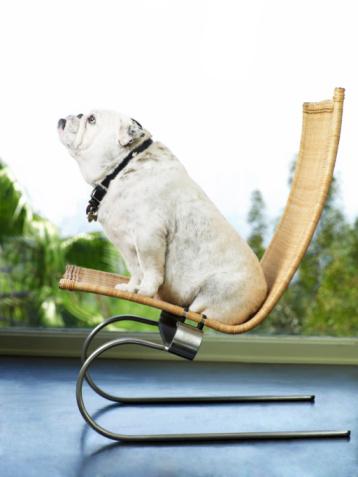 Overweight「Bulldog sitting on chair」:スマホ壁紙(18)