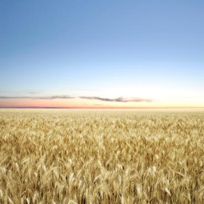 Saskatchewan「XXXL wheat field twilight」:スマホ壁紙(19)