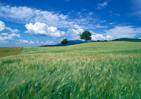 Agricultural Field「Wheat Field」:スマホ壁紙(1)