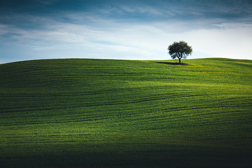 Agricultural Field「Wheat Field In Tuscany With Lonely Tree」:スマホ壁紙(5)