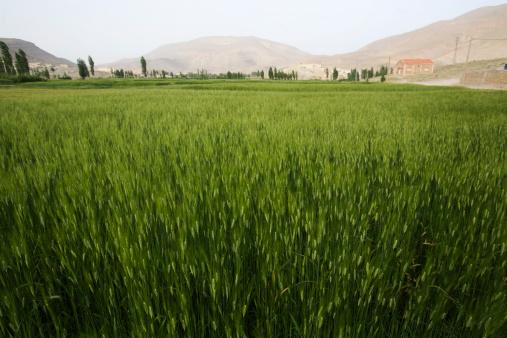 アトラス山脈「Wheat field in Morocco.」:スマホ壁紙(19)